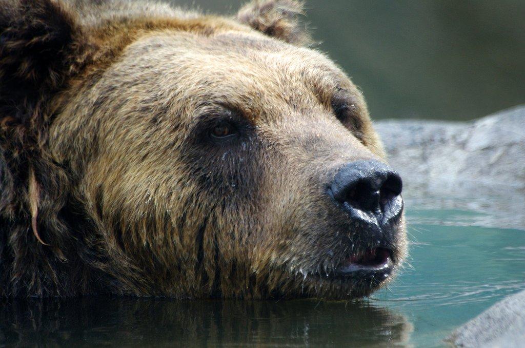 hokkaido_brown_bear_kushiro_zoo