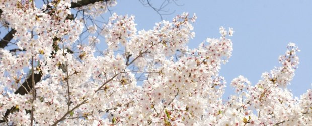 10 Best Places to See Cherry Blossom in Japan
