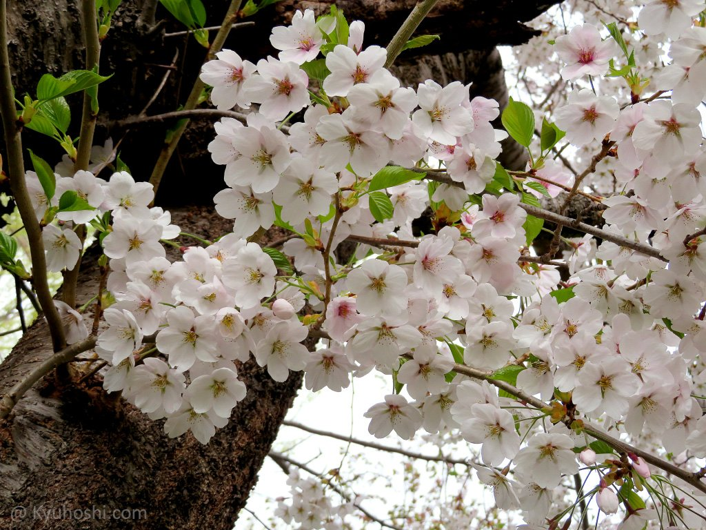 2021 Japan Cherry Blossom Forecast Kyuhoshi