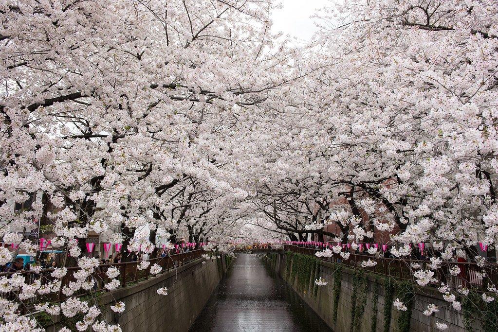 8 Fascinating Cherry Blossom Festivals In Tokyo Kyuhoshi